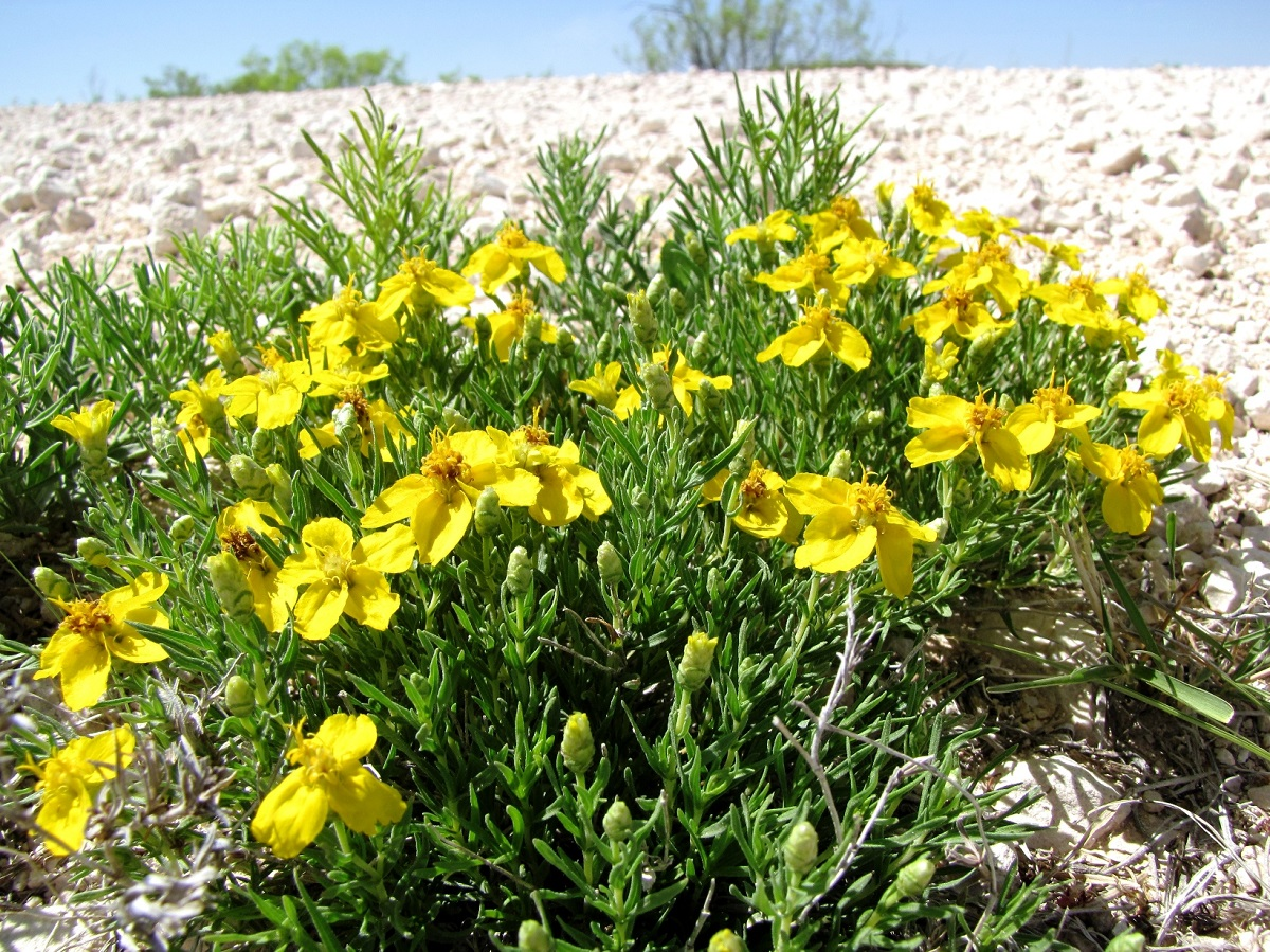 Yellow desert flowers blooming