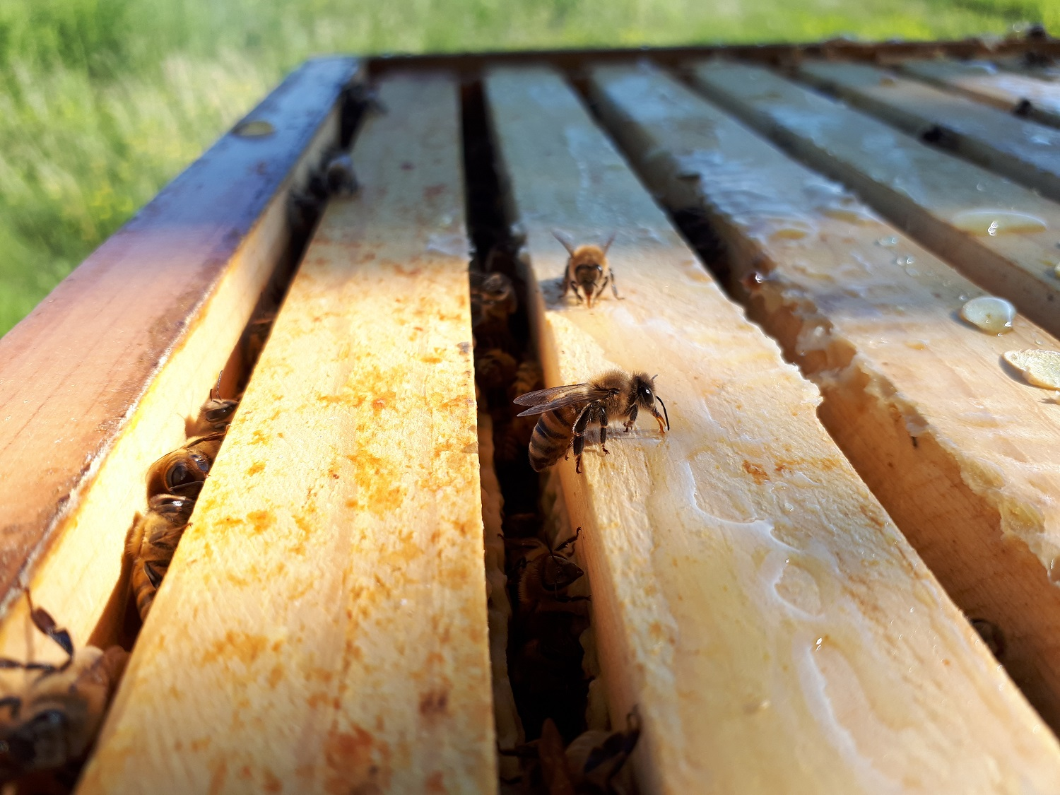honeybees at their wooden hive