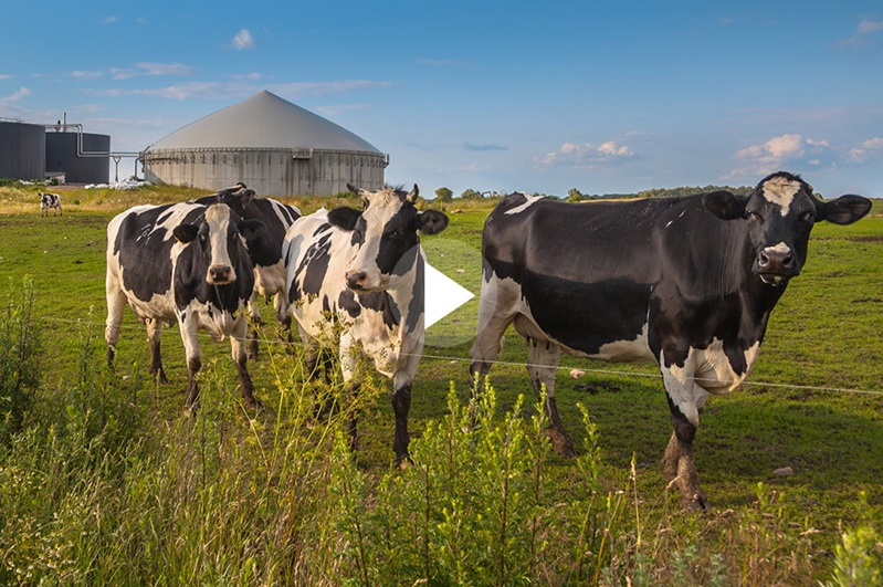 Cows in front of a biogas facility