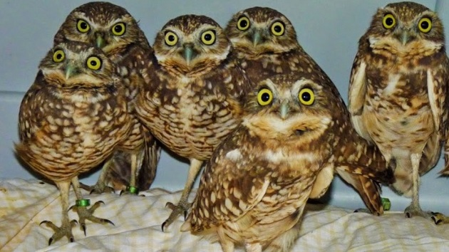 Burrowing owls for blog